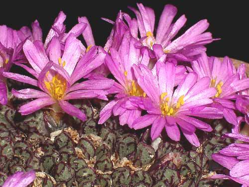 Conophytum Luckhoffii Arm134