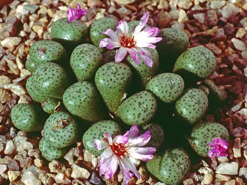 Conophytum obscurum MK23-69