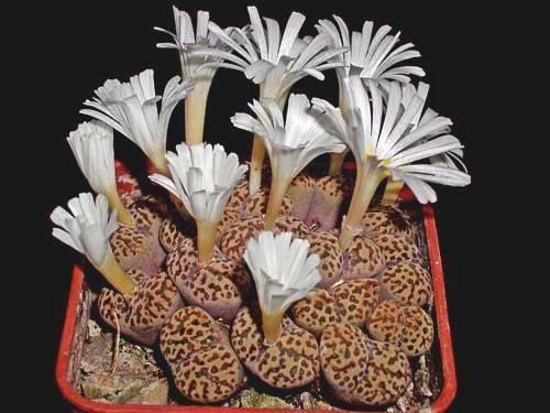 conophytum pellucidum var